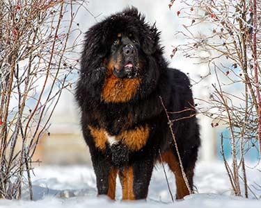 สัตว์เลี้ยงที่แพงที่สุดในโลก อันดับ 3 ที่แอดจะพาทุกคนไปส่อง คือ  Tibetan Mastiff ราคาอยู่ที่ประมาณ ราคา 582,000 ดอลลาร์สหรัฐ