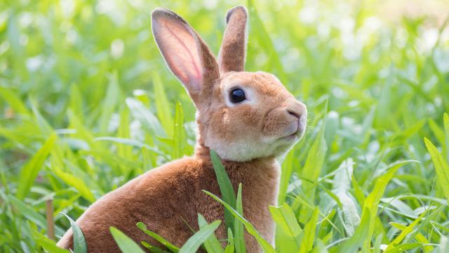 กระต่ายมีใบหูยาว