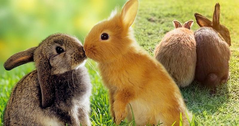 กระต่าย เป็นสัตว์เลี้ยงที่ขยายพันธุ์ได้เร็ว
