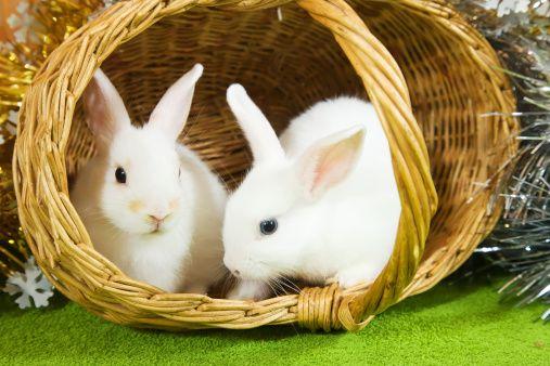 การเลี้ยงกระต่ายให้ถูกวิธี