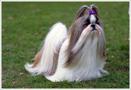 ทางทิเบตได้ส่ง สุนัขพันธุ์ชิสุ มาถวายกับองค์ซูสีไทเฮา