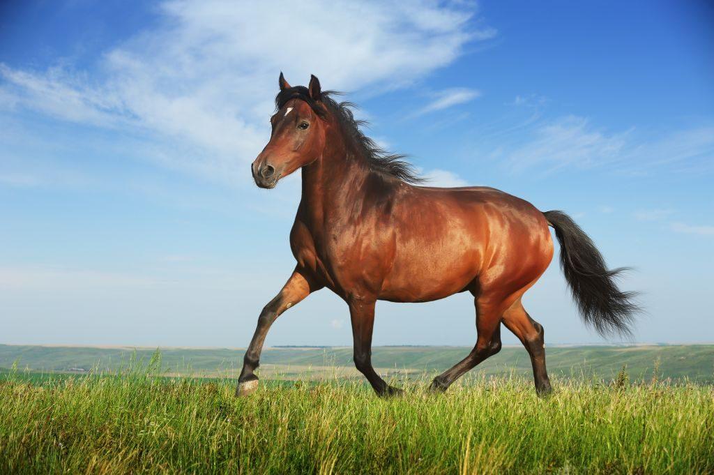ม้า สัตว์เลี้ยงในวิถีความเชื่อและวัฒนธรรม