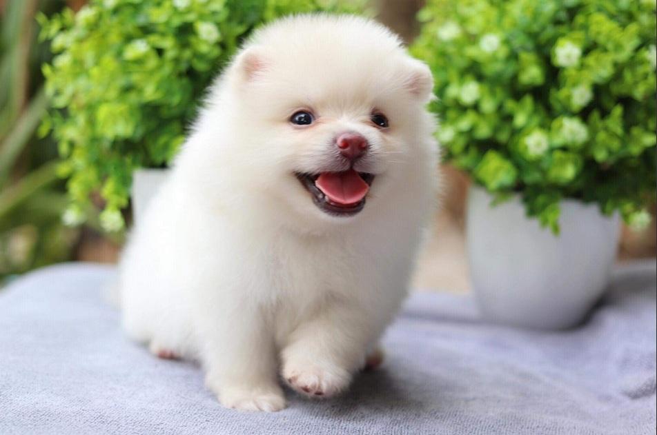สุนัขพันธุ์ปอมเมอเรเนียน