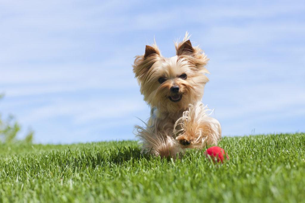 สุนัขพันธุ์ยอร์คเชียร์เทอร์เรียร์