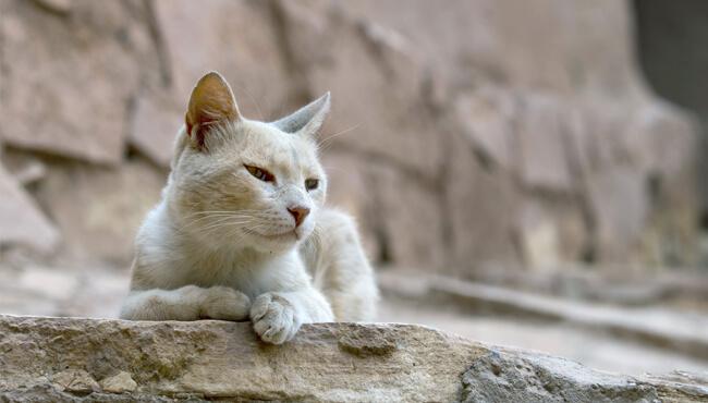 แมวนอนหมอบ หาง-หู ตก