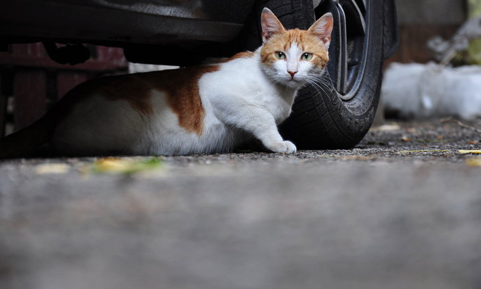 แมวหายออกจากบ้าน ควรจะต้องทำยังไง