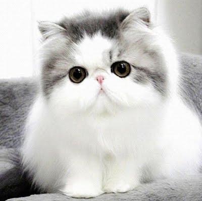 เลี้ยงแมวอะไรได้บ้าง ในงบ 1 หมื่น แมวสายพันธุ์แรก คือ แมวเปอร์เซีย