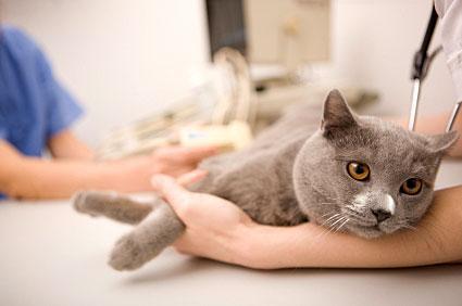 โรคที่เกิดกับแมว เป็นโรคแรกที่แมวจะต้องเคยเป็น ที่ผู้เลี้ยงแมวต้องระวังโรคแรก คือ โรคหวัดแมว