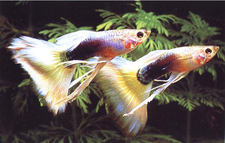การเลี้ยงปลาหางนกยูง ปลาสวยงามที่เลี้ยงง่าย