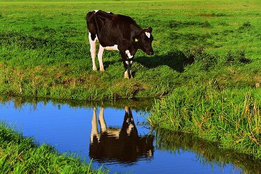 การเลี้ยงวัว สัตว์เลี้ยงที่อ่อนโยน