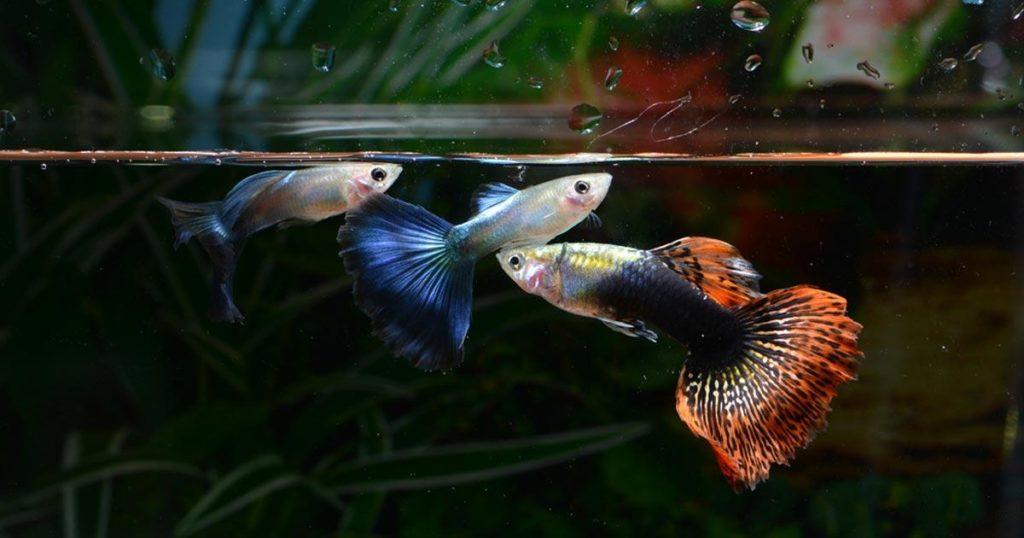 สายพันธุ์ปลาสวยงาม