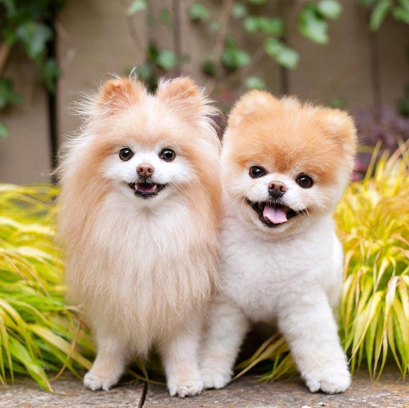 สุนัขพันธุ์ปอมเมอเรเดียนที่เหมือนตุ๊กตาหมี