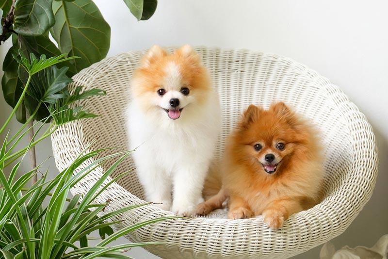 สุนัขพันธุ์ปอมเมอเรเดียน สุนัขพันธุ์เล็กที่มีความน่ารัก