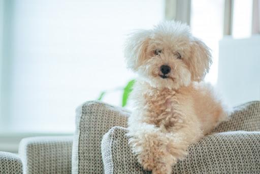 สุนัขพันธุ์พูเดิ้ล สุนัขที่มีความสามารถพิเศษ