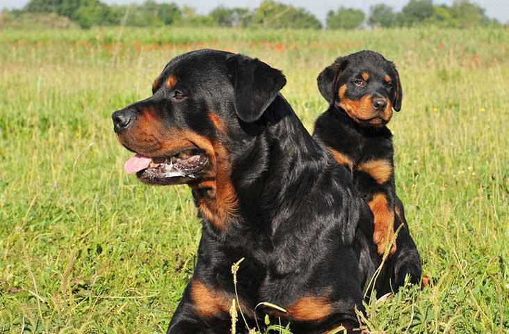 สุนัขพันธุ์ร๊อตไวเลอร์ สุนัขที่มีถิ่นกำเนิดมาจากต่างประเทศ