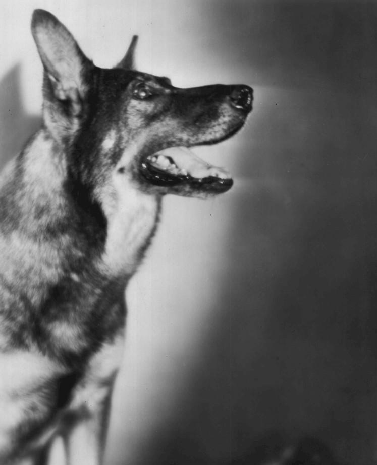 สุนัขพันธุ์เยอรมันเชฟเพิร์ด ก็ยังเป็นที่นิยมในหมู่คนเลี้ยง