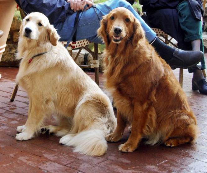 สุนัขพันธุ์โกลเด้นรีทรีฟเวอร์ขนาดใหญ่ ขนยาวสีน้ำตาล เหลืองทอง