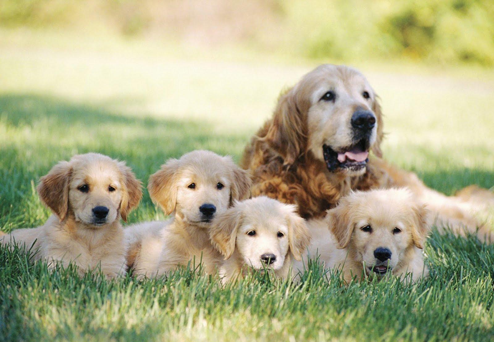 สุนัขพันธุ์โกลเด้นรีทรีฟเวอร์ สุนัขพันธุ์ใหญ่ที่น่าเลี้ยง