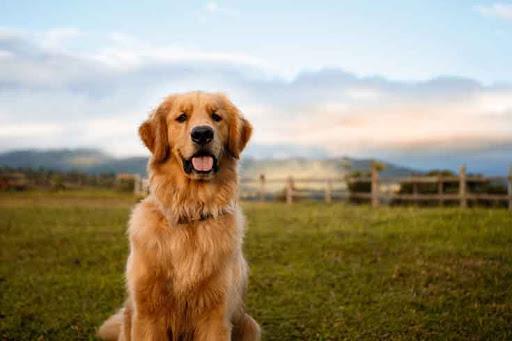 สุนัขพันธุ์โกลเด้นรีทรีฟเวอร์