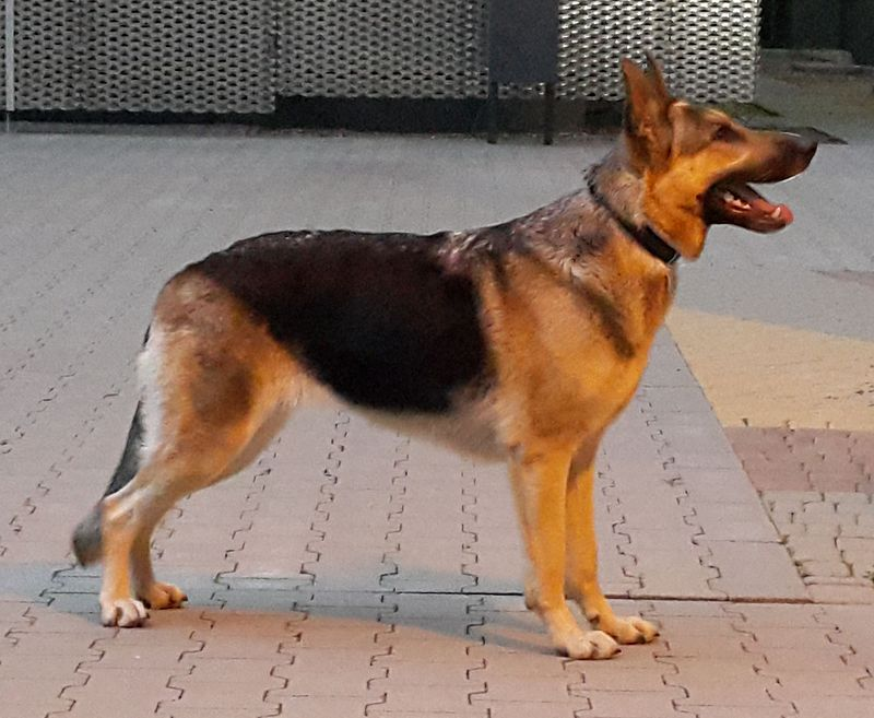 สุนัขเยอรมันเชฟเพิร์ด สุนัขสายพันธุ์เยอรมันแท้