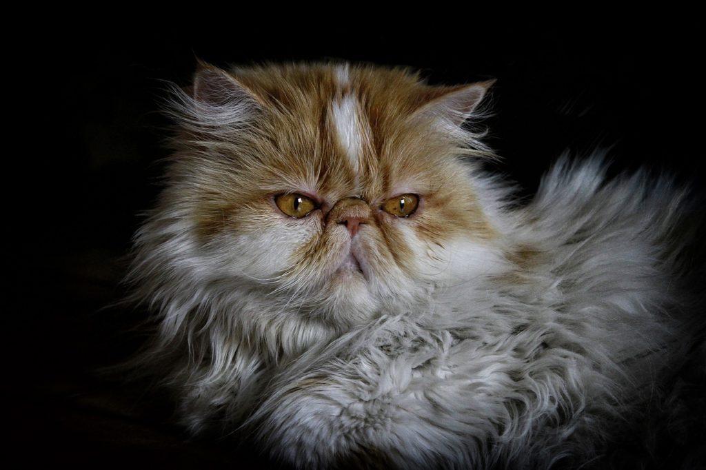 แมวสายพันธุ์เปอร์เซีย