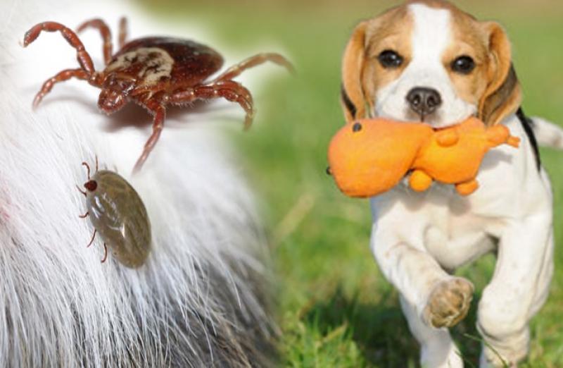 การกำจัดเห็บ ให้สุนัขห่างไกลโรคพยาธิในเม็ดเลือด