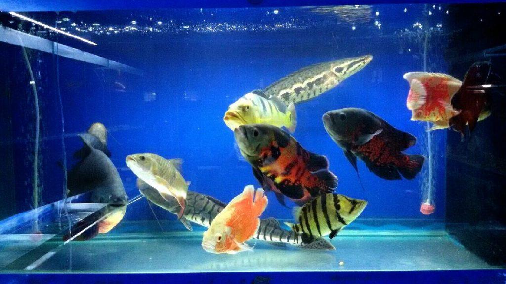 การเพาะเลี้ยงปลาออสก้าในประเทศไทย