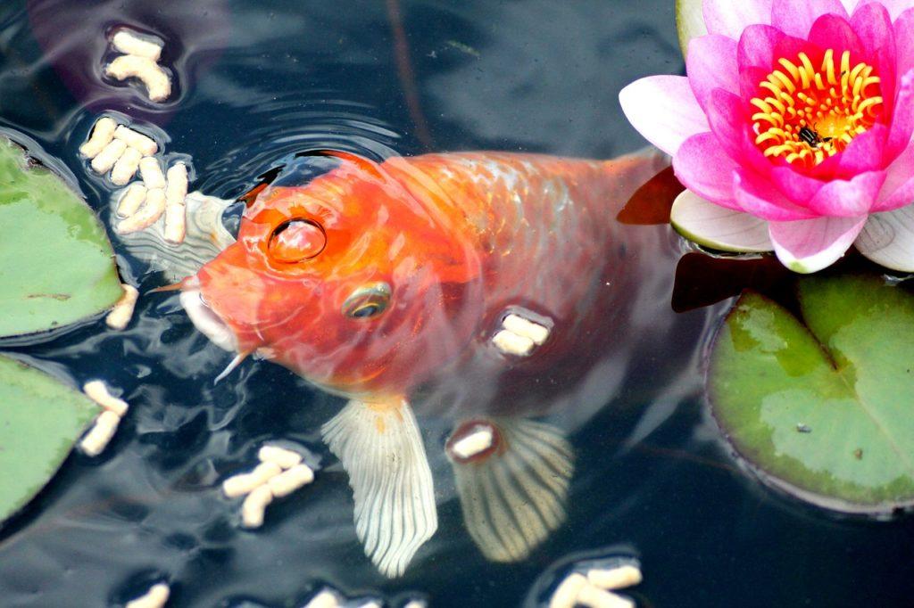 การเลี้ยงปลาทอง เรื่องสำคัญที่ต้องรู้