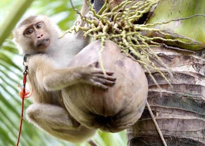 การเลี้ยงลิงกัง ลิงที่มีความสามารถพิเศษ