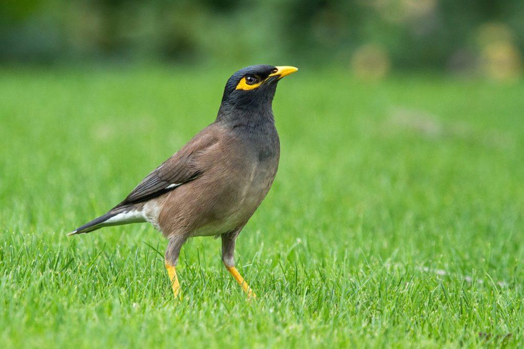 นกขุนทอง