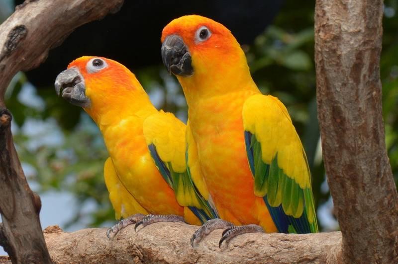 นกพูดได้ จะเลือกเลี้ยงสายพันธุ์ไหน