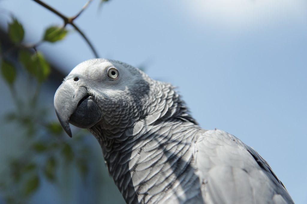 นกแอฟริกันเกรย์