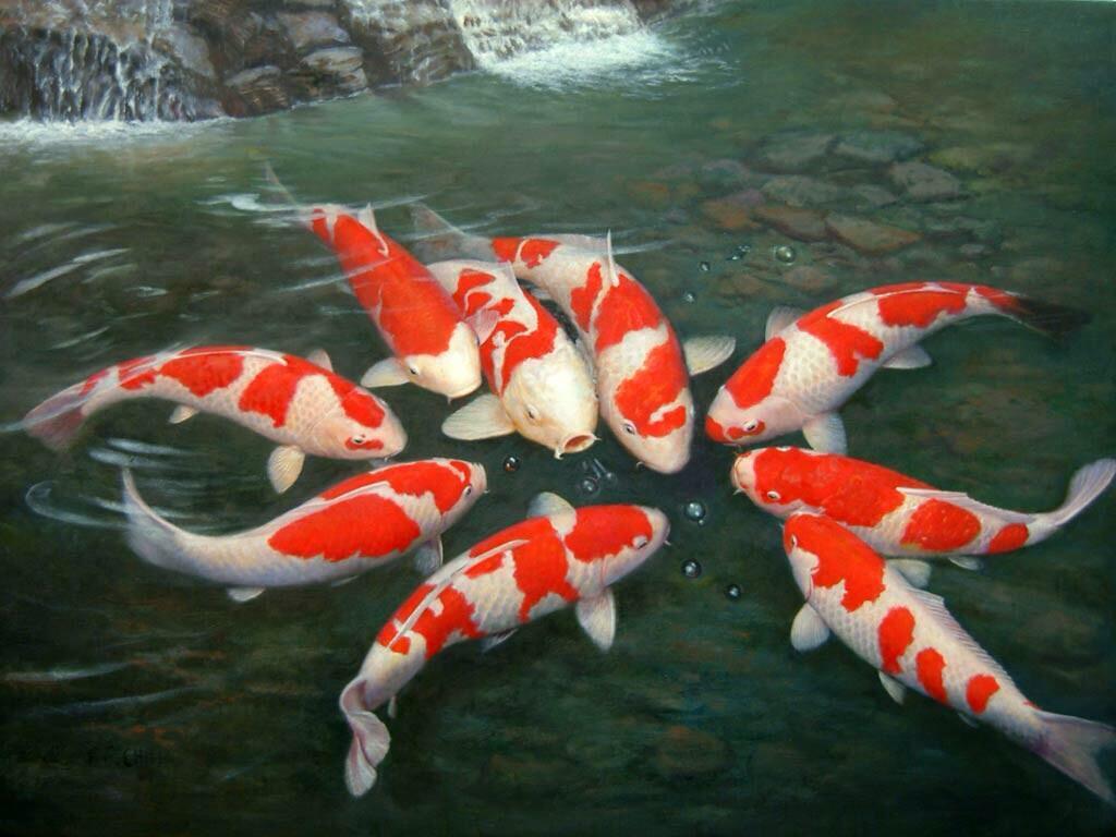 ปลาคาร์ฟ ปลามงคลเสริมฮวงจุ้ย ที่ต้องรู้วิธีเลี้ยง