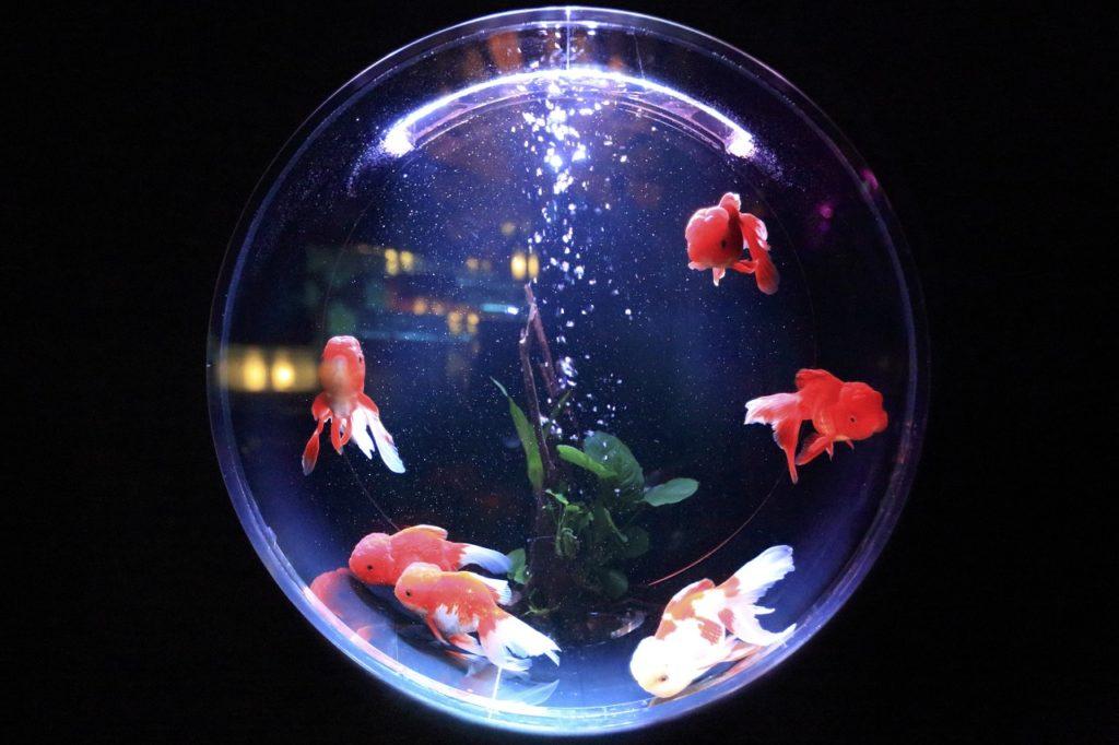 ปลาทอง ปลาสวยงาม