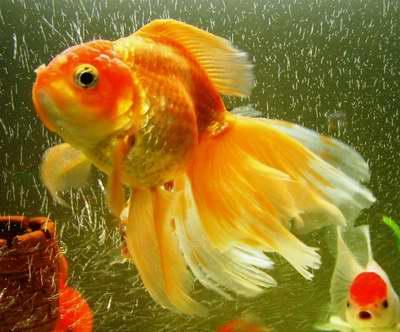 ปลาทอง เป็นปลาที่มีหลากสีสัน