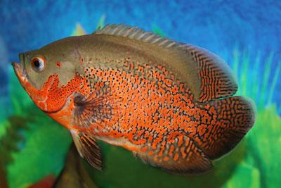 ปลาออสก้า ปลาที่มีสีสันสวยงาม