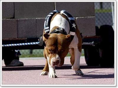 สุนัขพันธุ์พิทบูล มีพละกำลังเยอะมาก
