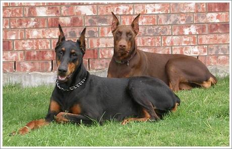 สุนัขพันธุ์โดเบอร์แมน สายพันธุ์ต่างประเทศ