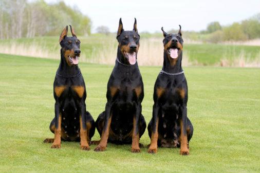 สุนัขพันธุ์โดเบอร์แมน สุนัขอารักขาระดับแนวหน้า