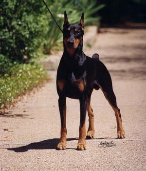 สุนัขพันธุ์โดเบอร์แมน