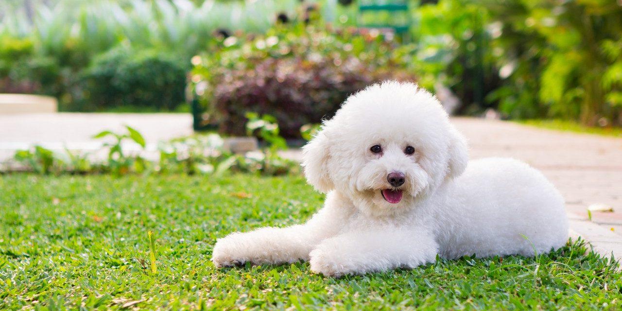 สุนัขพุดเดิ้ลทอย สายพันธุ์สุนัขน่ารักขนฟู