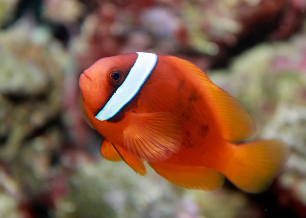 Clownfish ปลาการ์ตูน