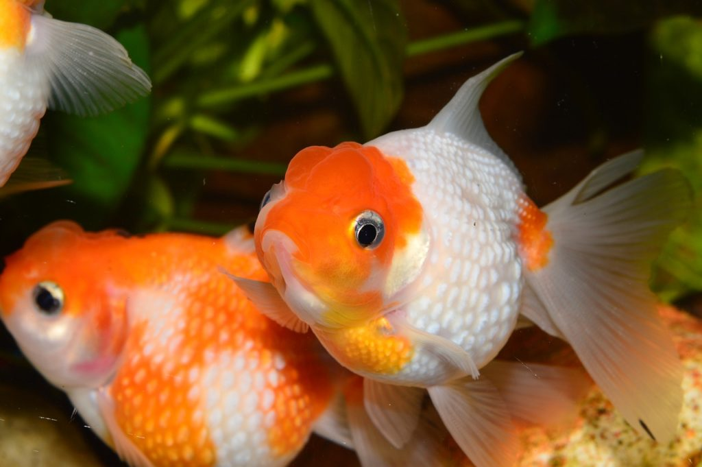 Goldfish ปลาทอง