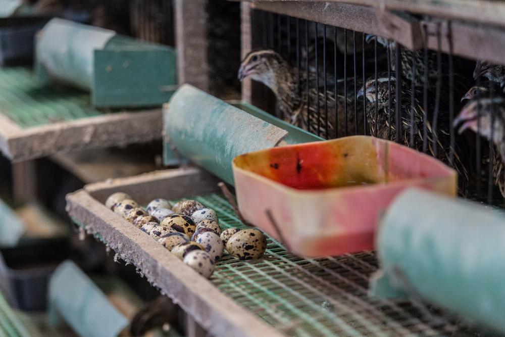 การเลี้ยงนกกระทา ต้องระมัดระวังเรื่องโรคติดต่อ