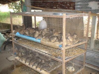 การเลี้ยงนกกระทา เพื่อนำไข่มาขาย