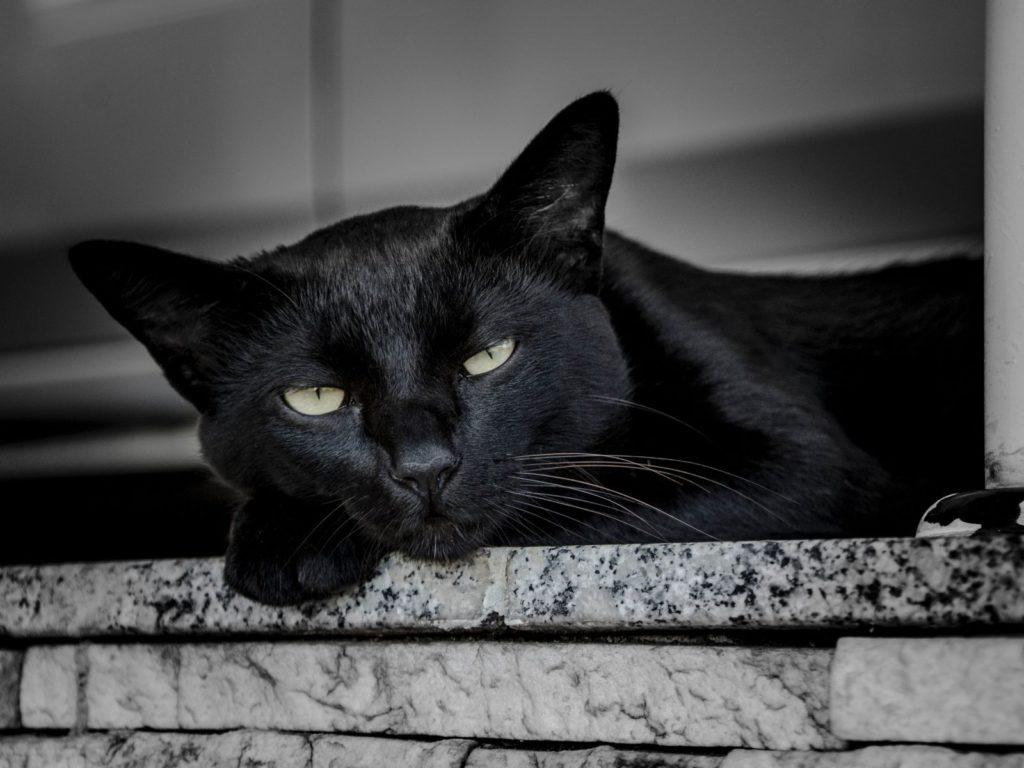 การเลี้ยงแมวดำ ต้องเอาใจใส่