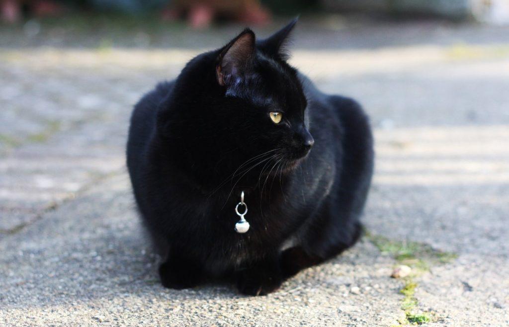 การเลี้ยงแมวดำ ทำให้โชคดี