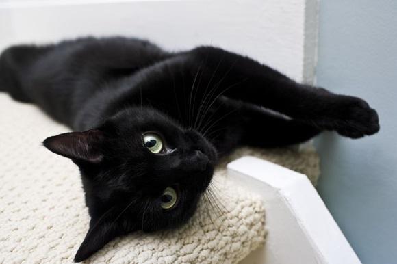 การเลี้ยงแมวดำ มีทั้งหมด 9 สายพันธุ์