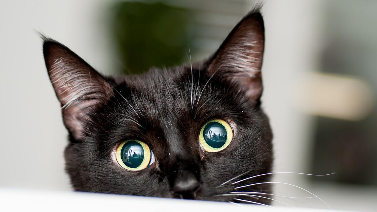 การเลี้ยงแมวดำ สัตว์เลี้ยงนำโชคลาภ