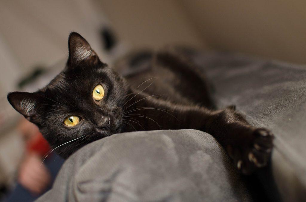 การเลี้ยงแมวดำ